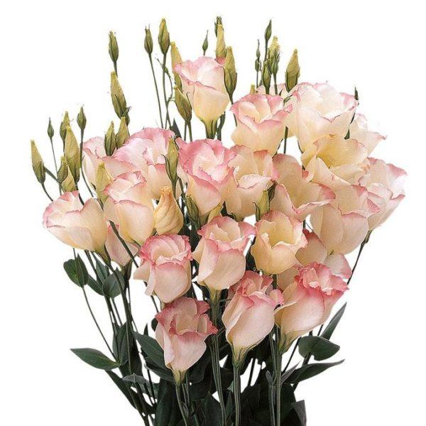 Эустома розово-белая