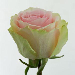Роза Фрутетта