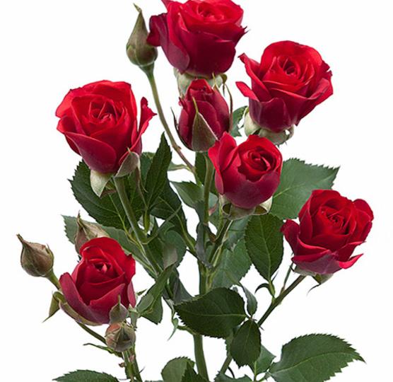 Розы кустовые Рубикон