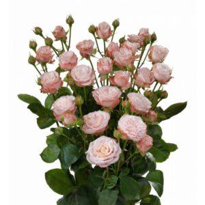 Розы кустовые Мадам Бомбастик