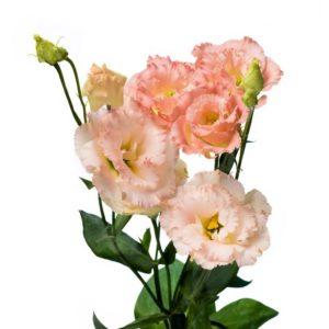 эустома кучерявая розовая
