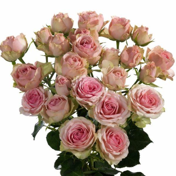 Розы кустовые Динара