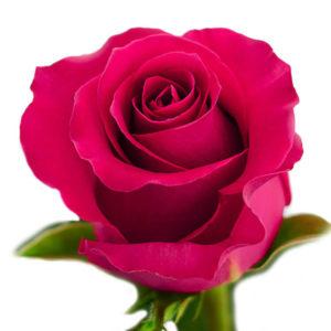 Роза Эквадор Готча
