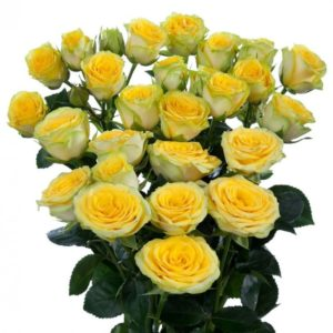 розы кустовые пионовидные желтые
